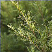 New Zealand Tea Tree